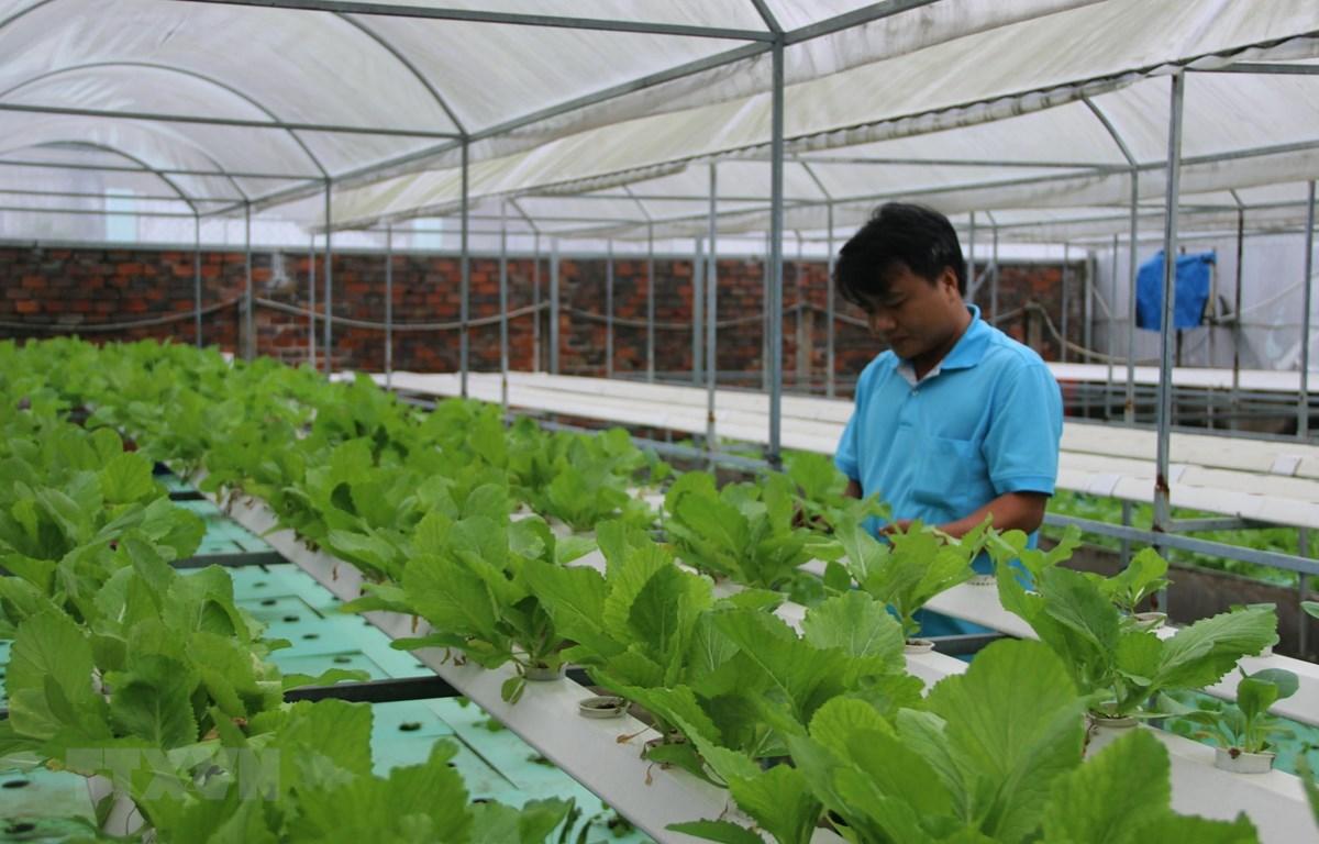 Rau xà lách trồng theo mô hình aquaponics. (Ảnh: Xuân Dự/TTXVN)