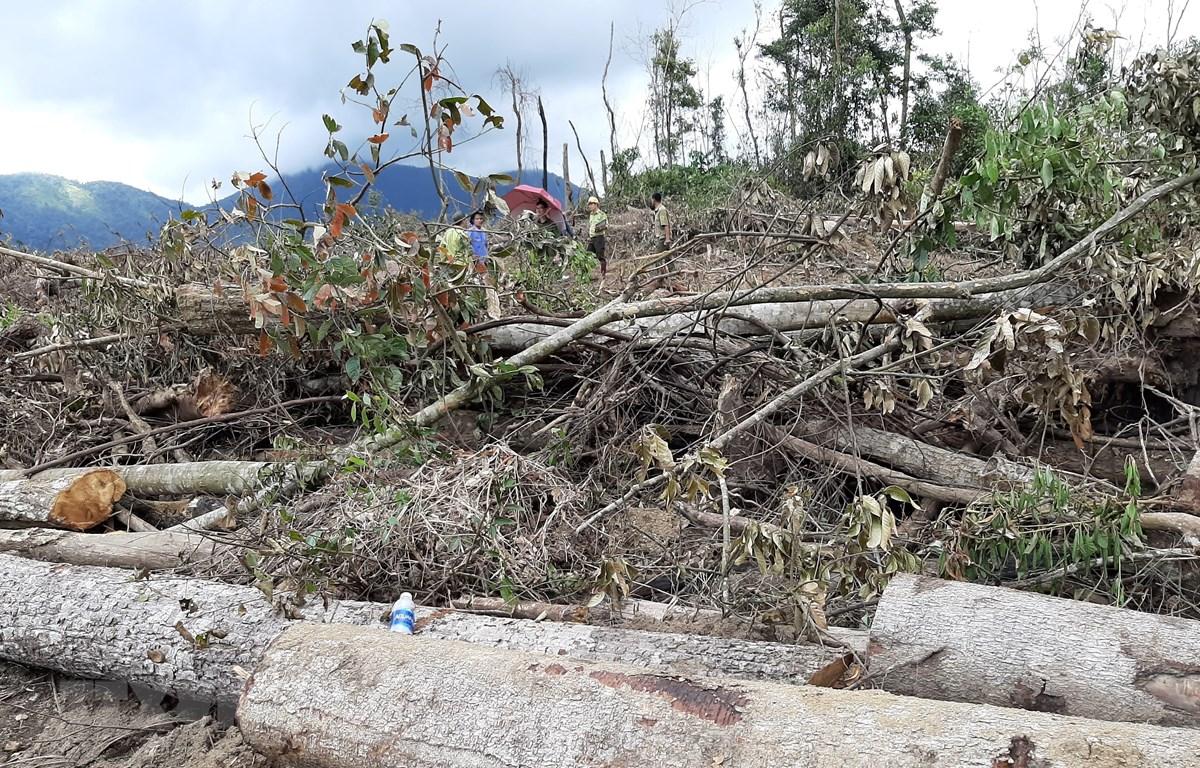 Tại hiện trường, hàng trăm lóng gỗ có đường kính 10-50cm, nằm ngổn ngang trên đường đã được san đất bằng phẳng rộng khoảng 4 mét để chờ cơ hội đưa ra khỏi rừng. (Ảnh: Đặng Tuấn/TTXVN)
