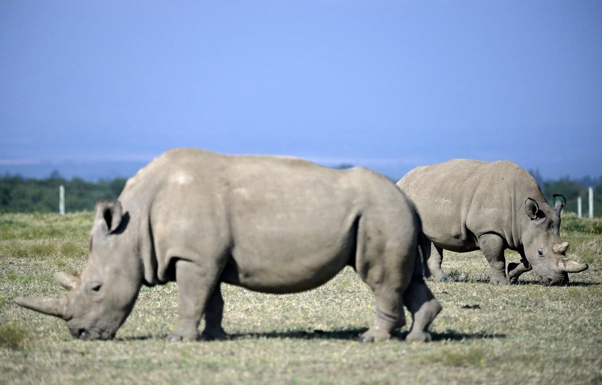 Hai cá thể tê giác trắng phương Bắc cuối cùng còn sống trên Trái đất được chăm sóc tại một khu bảo tồn ở Nanyuki, Kenya ngày 23/8/2019. (Ảnh: AFP/TTXVN)