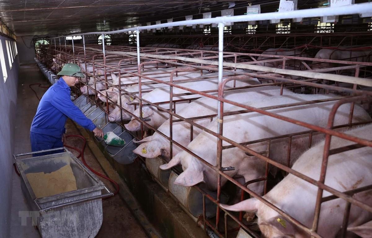 Nếu đảm bảo an toàn sinh học, các địa phương có thể thực hiện tái đàn lợn để đảm bảo nguồn cung. (Ảnh: Vũ Sinh/TTXVN)