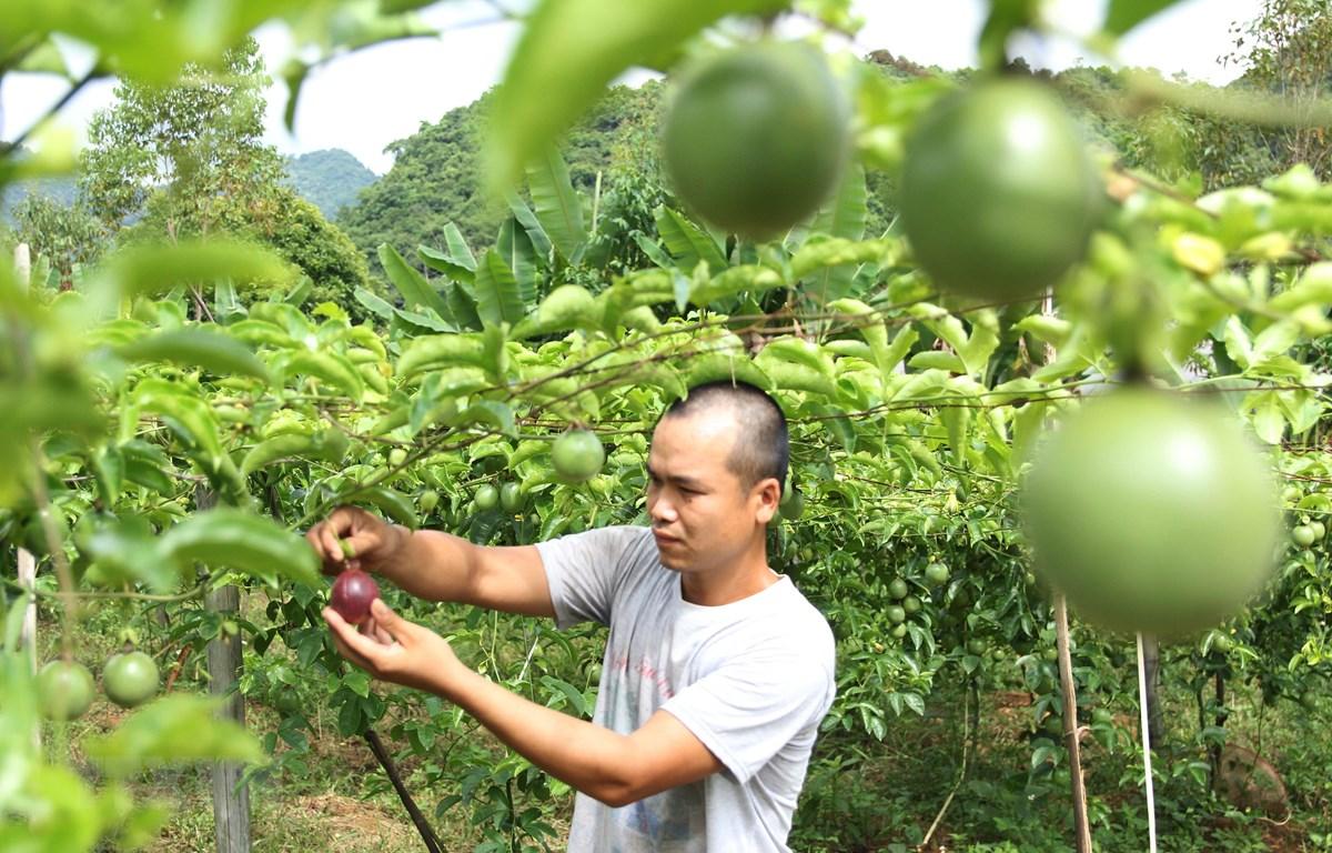 Thu hoạch chanh leo tại Hợp tác xã nông dược Mai Sơn,Sơn La. (Ảnh: Quang Quyết/TTXVN)