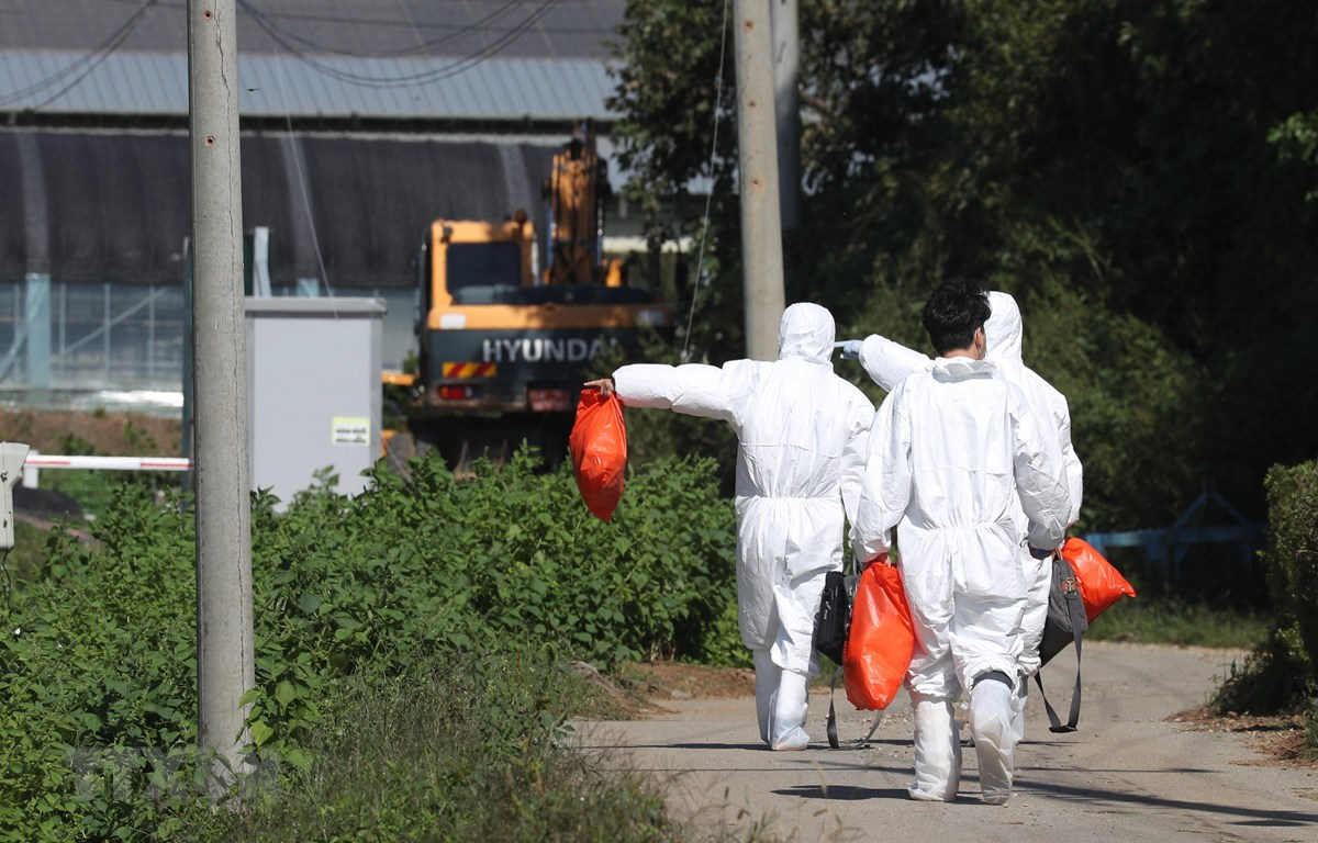 Nhân viên kiểm dịch kiểm tra một trang trại lợn ở Yeoncheon, cách thủ đô Seoul, Hàn Quốc, khoảng 62 km ngày 18/9. (Ảnh: YONHAP/TTXVN)