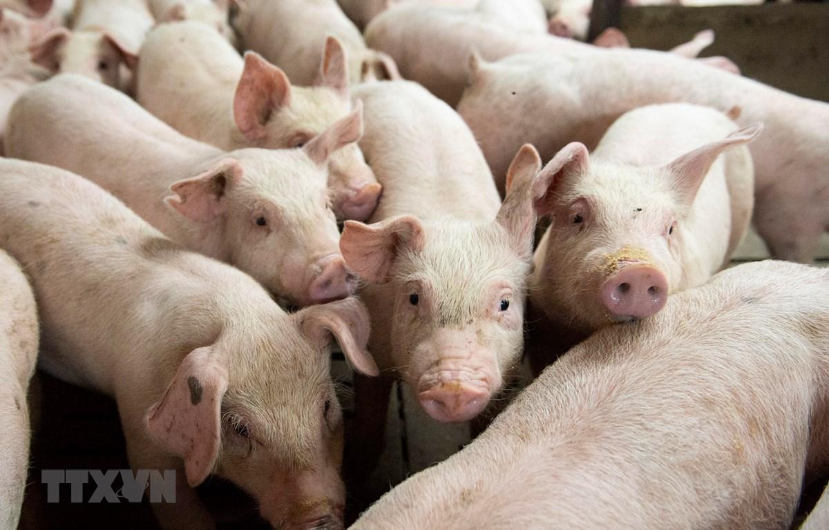 Thành phố Bắc Kinh sẽ đầu tư lớn vào ngành nuôi lợn. (Ảnh: AFP/TTXVN)