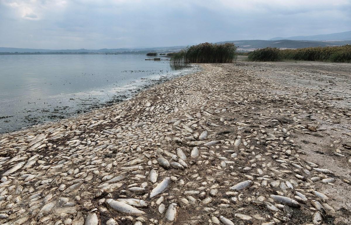 Hàng nghìn con cá chết nổi trên hồ Koroneia, miền Bắc Hy Lạp ngày 19/9/2019 do biến đổi khí hậu. (Ảnh: AFP/TTXVN)