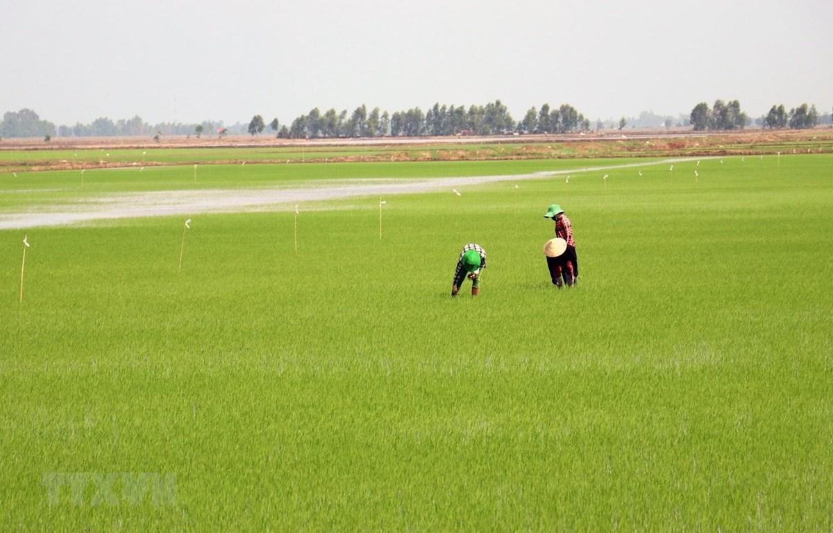 Chăm sóc lua tại huyện Hòn Đất, Kiên Giang. (Ảnh: Lê Huy Hải/TTXVN)