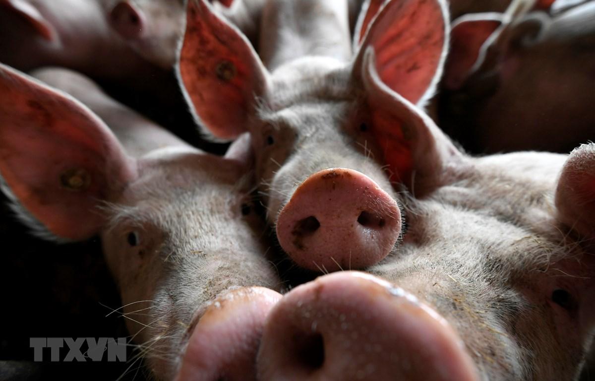 Dịch tả lợn châu Phi đang bùng phát tại Timor Leste. (Ảnh: AFP/TTXVN)