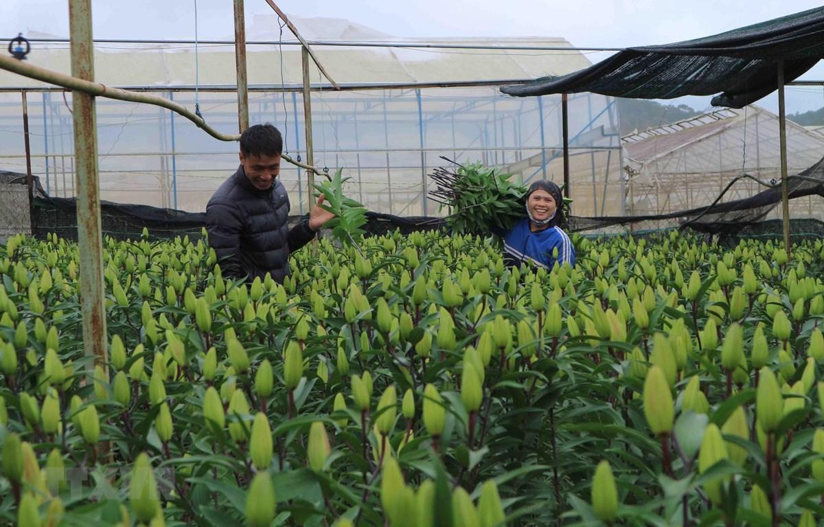 Nhà vườn ở làng hoa Thái Phiên (Phường 12, Đà Lạt) thu hoạch hoa lily vụ Tết. (Ảnh: Nguyễn Dũng/TTXVN)
