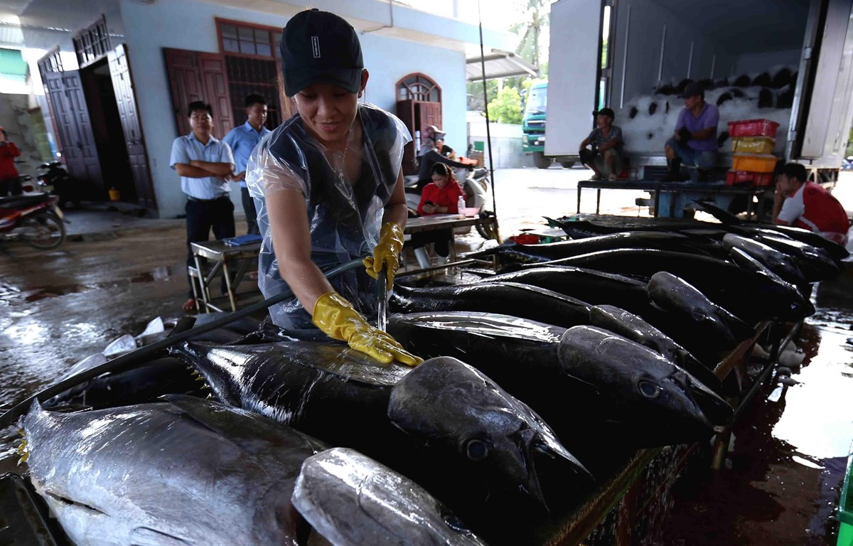 Ngư dân Bình Định đánh bắt cá ngừ đại dương. (Ảnh: Vũ Sinh/TTXVN)