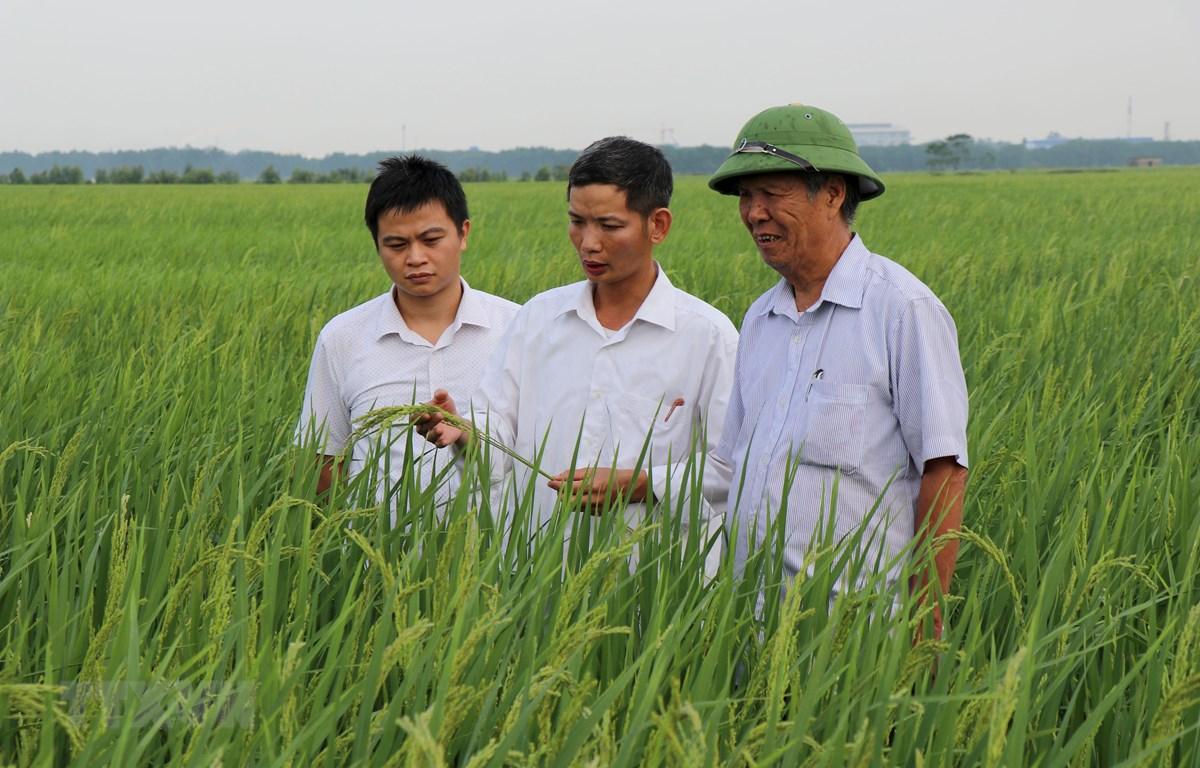 Cán bộ Phòng Nông nghiệp và Phát triển Nông thôn huyện Yên Phong kiểm tra đồng lúa nếp cái hoa vàng Yên Phụ. (Ảnh: Đinh Văn Nhiều/TTXVN)