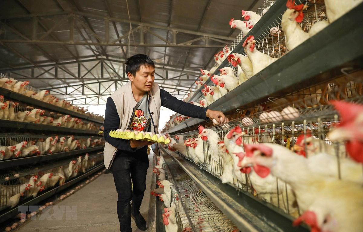 Người chăn nuôi thu nhặt trứng tại một trang trại ở Danzhai, tỉnh Quý Châu, miền Tây Nam Trung Quốc. (Ảnh: AFP/TTXVN)