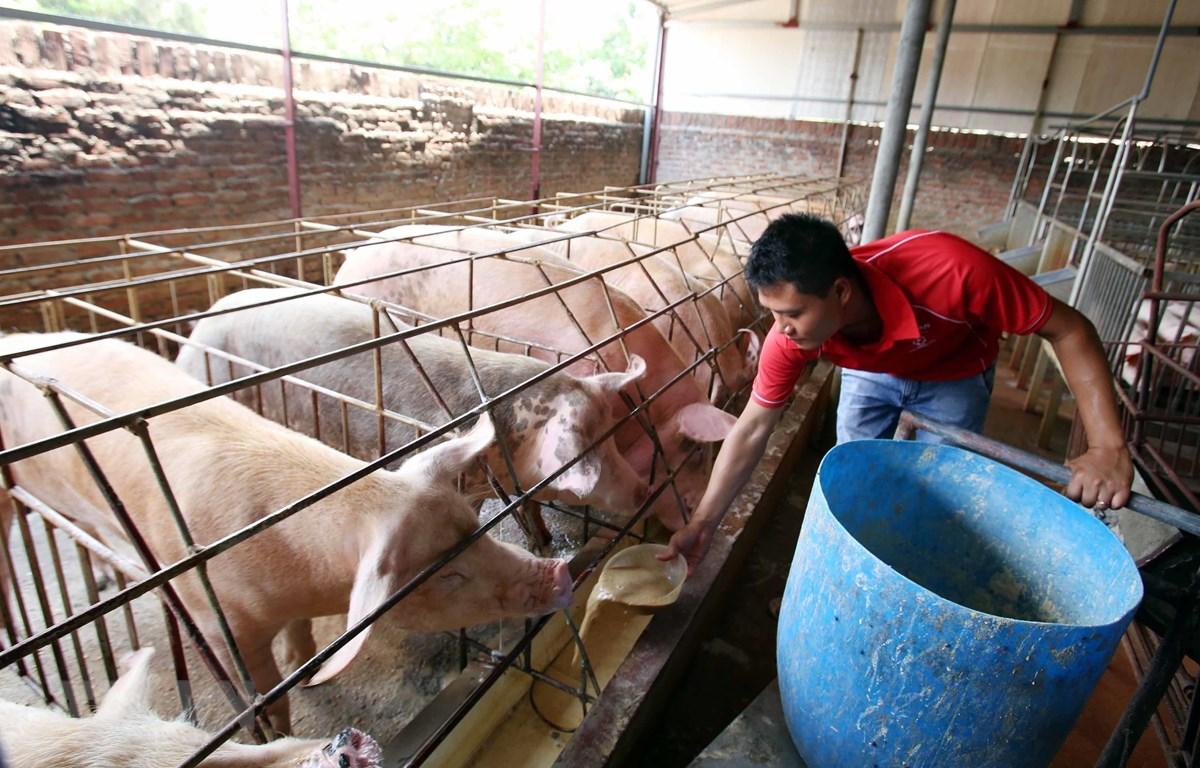 Nông dân chăm sóc đàn lợn với mô hình nuôi bằng thảo dược để xuất chuồng phục vụ Tết nguyên đán sắp tới. (Ảnh: Phạm Kiên/TTXVN)