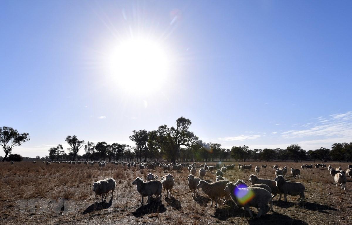 Cánh đồng cỏ dành cho chăn nuôi gia súc bị khô hạn do nắng nóng kéo dài tại bang New South Wales, Australia. (Ảnh: AFP/TTXVN)