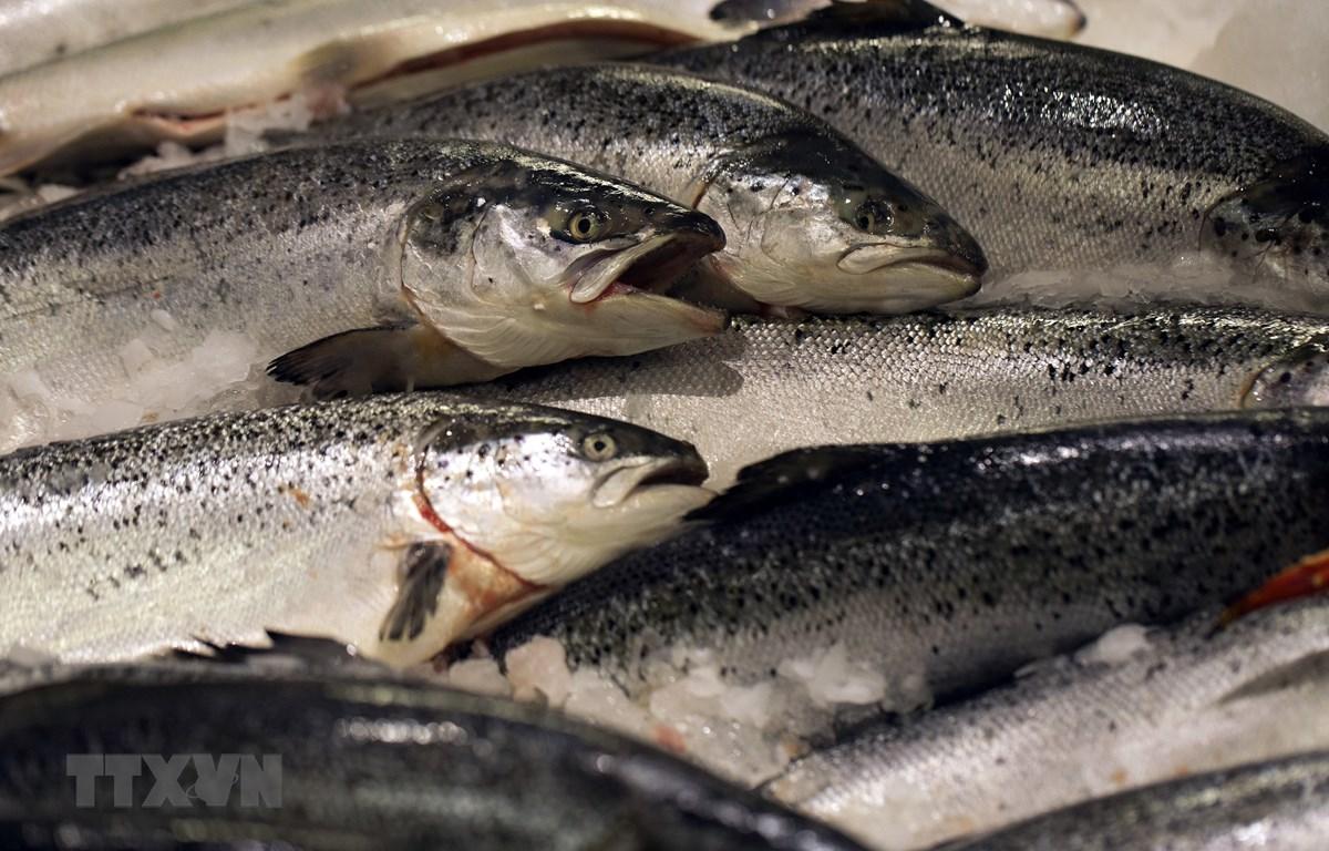 Cá hồi Na Uy. (Ảnh: TTXVN phát)
