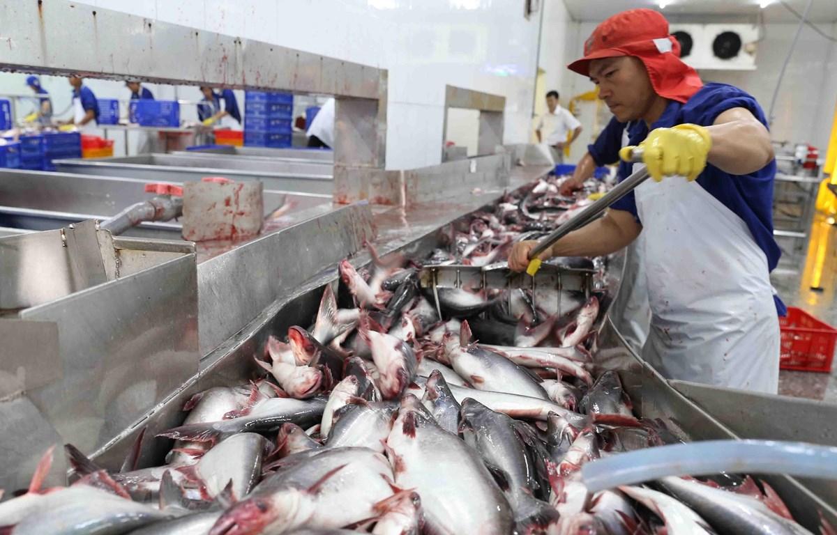 Vận chuyển cá tra nguyên liệu vào nhà máy để chế biến xuất khẩu. (Ảnh: Vũ Sinh/TTXVN)