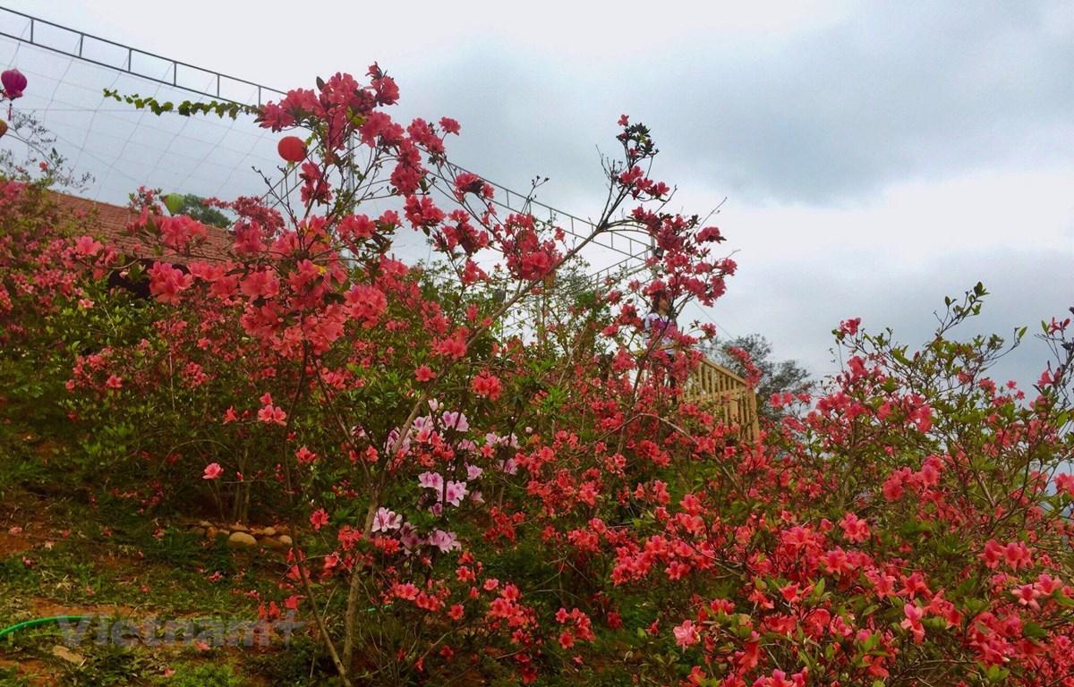 Hoa Đỗ quyên đỏ rực rỡ. (Ảnh: Vietnam+)