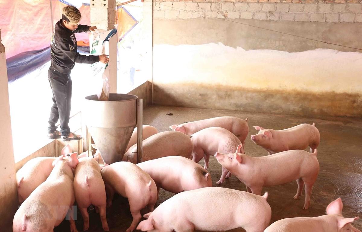 Chăm sóc đàn lợn thịt để cung cấp cho thị trường dịp Tết Canh Tý tại trại của gia đình anh Nguyễn Đình Thành, xã thư Phú, huyện Thường Tín, TP Hà Nội. (Ảnh: Vũ Sinh/TTXVN)