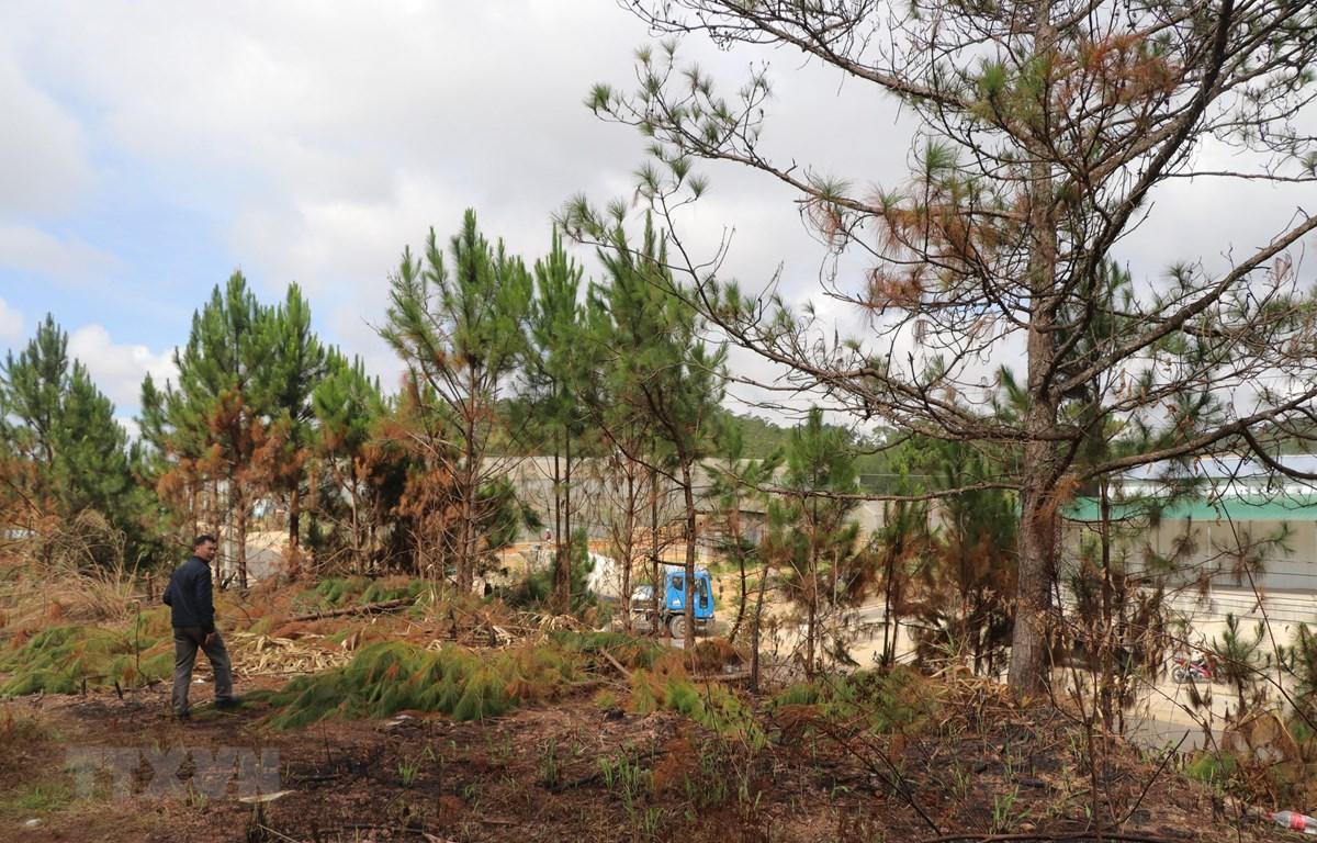 Khu vực rừng thông bị các đối tượng cưa hạ trái phép. (Ảnh: Đặng Tuấn/TTXVN)