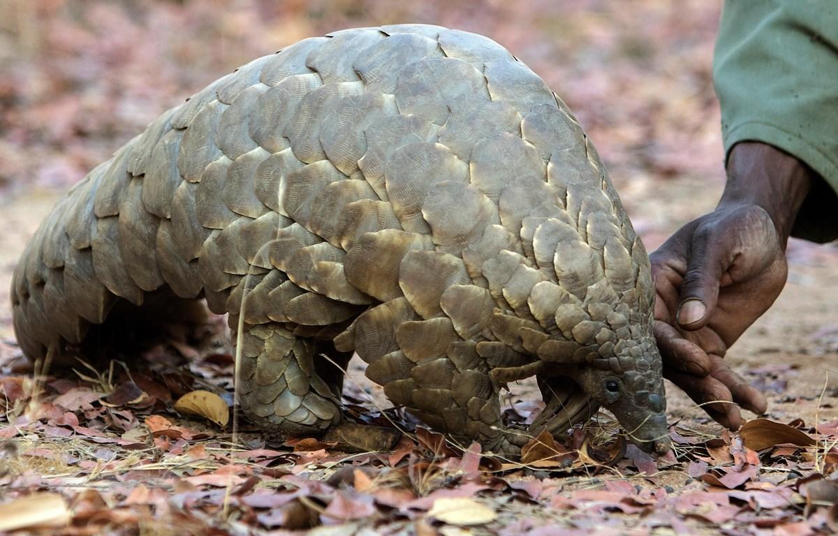 Một cá thể tê tê tại vườn thú ở Harare, Zimbabwe. (Ảnh: AFP/TTXVN)