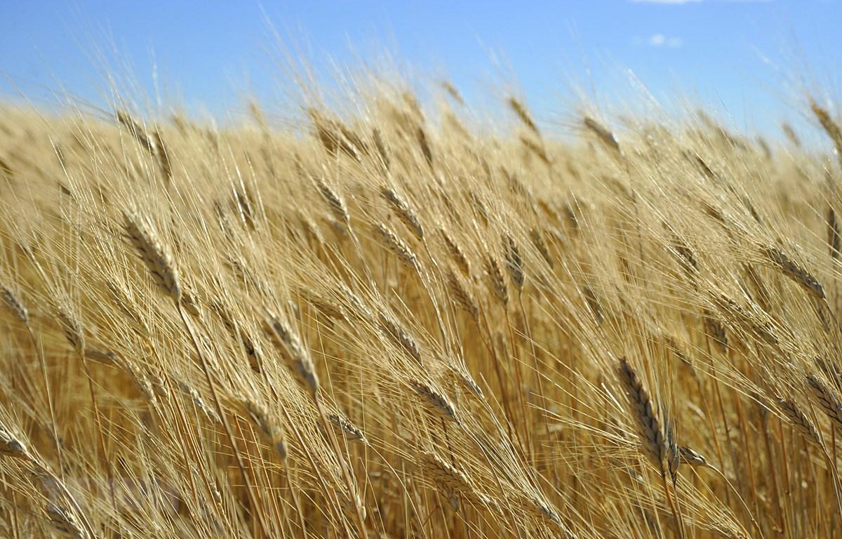 Một cánh đồng lúa mì ở gần Tioga, bang Bắc Dakota, Mỹ. (Ảnh: AFP/TTXVN)