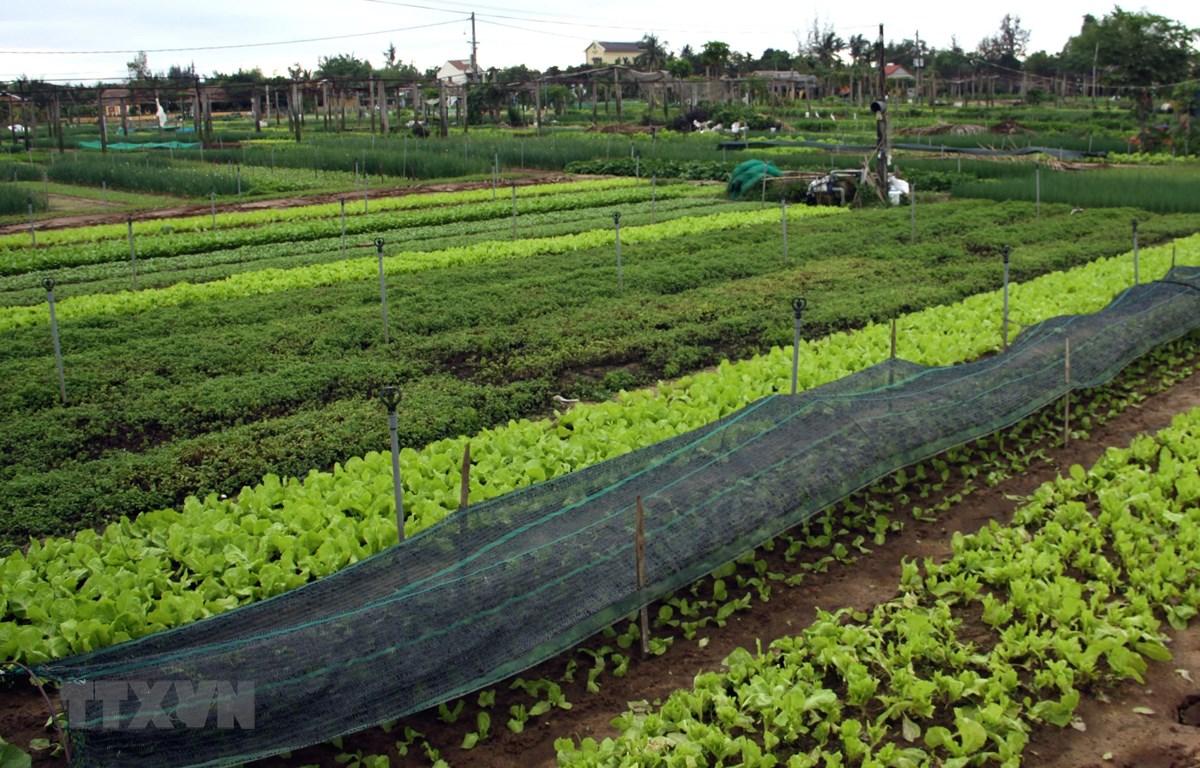 Một góc làng nghề trồng rau Trà Quế. (Ảnh: Trịnh Bang Nhiệm/TTXVN)