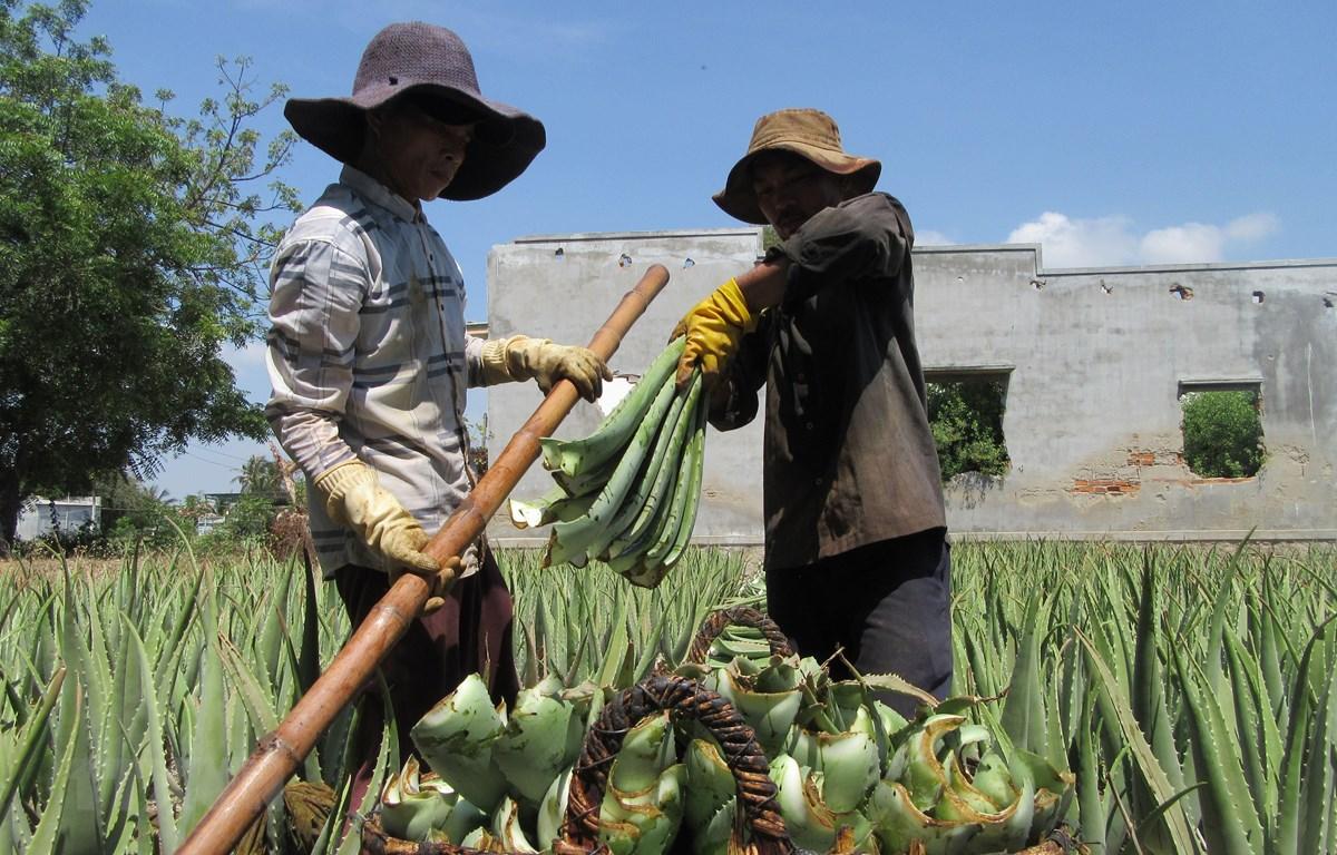 Nông dân phường Mỹ Bình, thành phố Phan Rang-Tháp Chàm thu hoạch nha đam. (Ảnh: Nguyễn Thành/TTXVN)