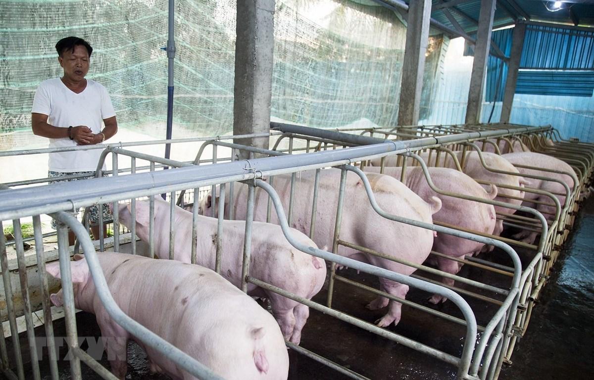 Tỉnh Quảng Trị nỗ lực ngăn chặn bệnh dịch tả lợn châu Phi tái bùng phát. Ảnh minh họa. (Nguồn: TTXVN)