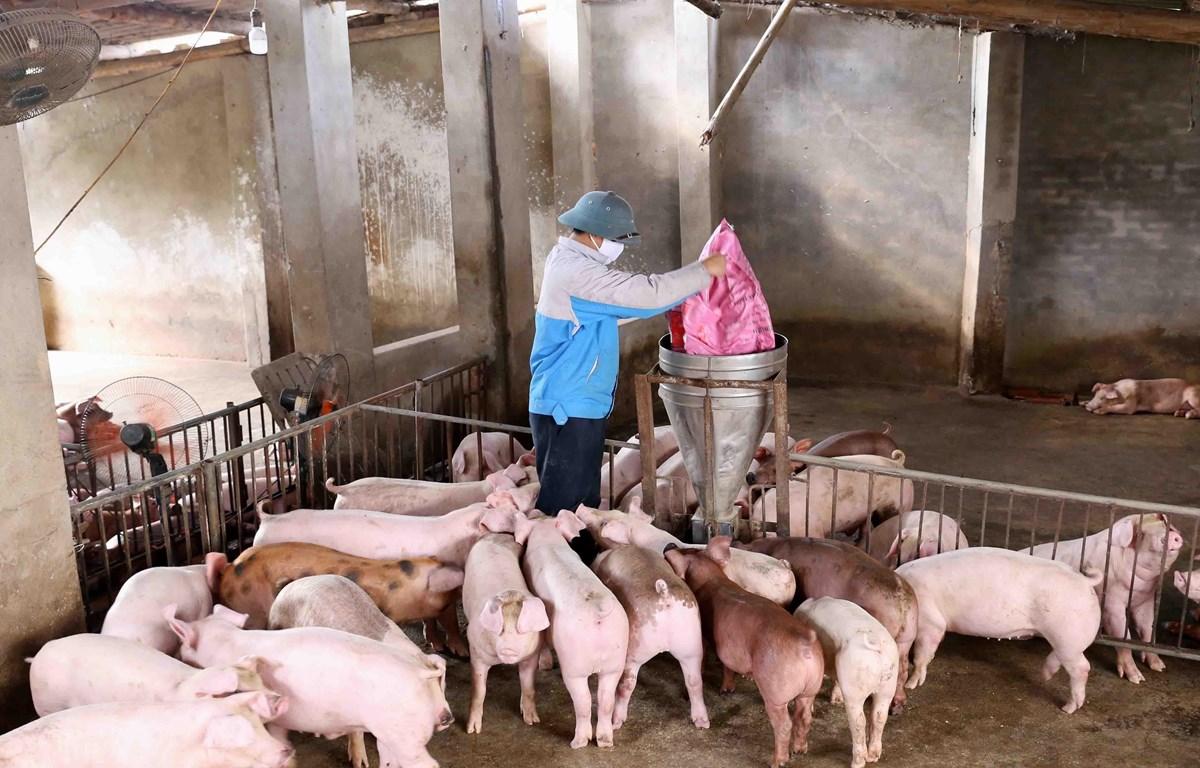 Các nông hộ cần có sự chuẩn bị kỹ lưỡng để tái đàn lợn. (Ảnh: Vũ Sinh/TTXVN)