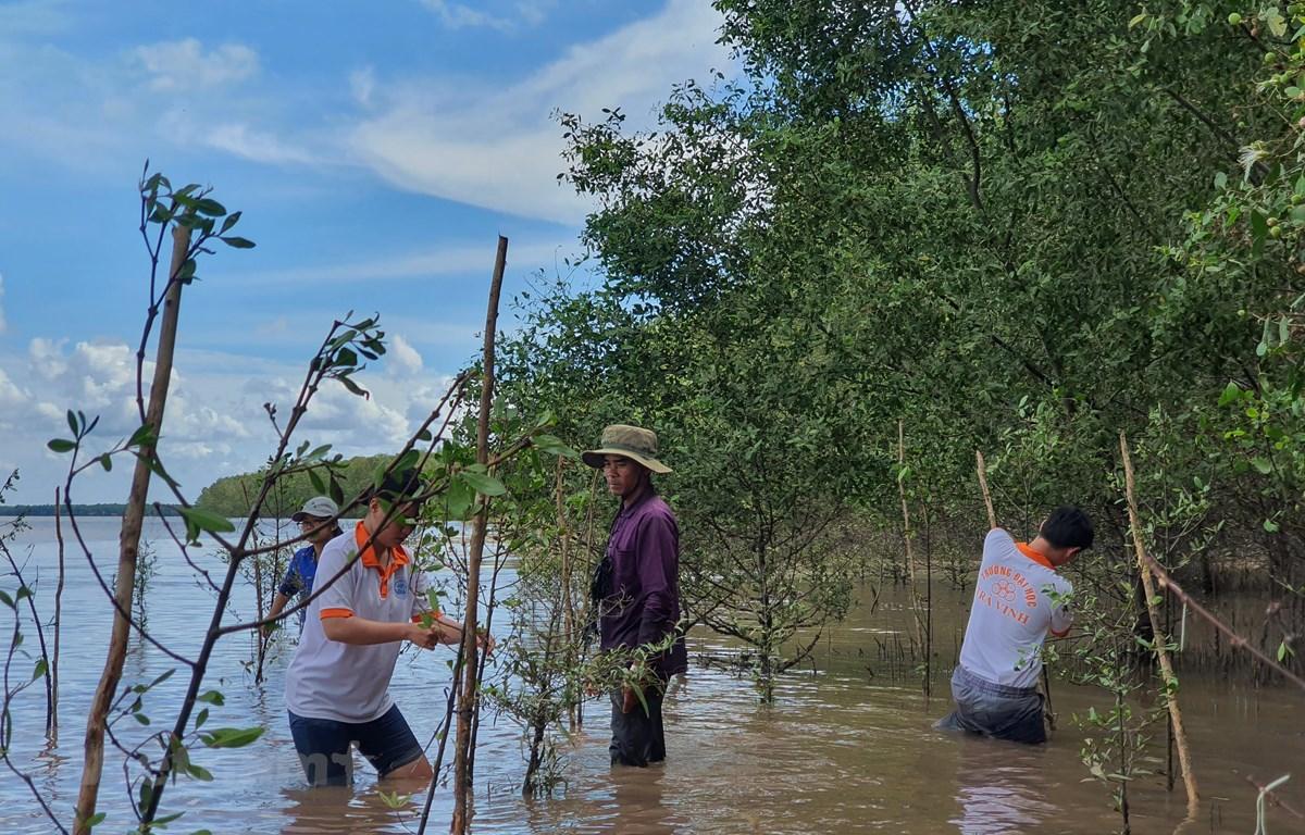 Đội tình nguyện đại diện cho Liên minh Giá trị xã hội Việt Nam tiến hành trồng cây phục hồi rừng ngập mặn tại Trà Vinh. (Ảnh: PV/Vietnam+)
