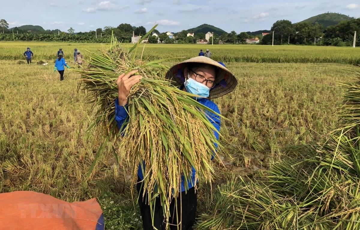 Thu hoạch lúa tại xã Vĩnh An, Thanh Hóa. (Ảnh: TTXVN phát)