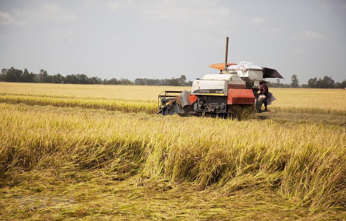 Thu hoạch lúa vụ Đông Xuân 2019 - 2020 sản xuất theo tiêu chuẩn quốc tế SRP trên cánh đồng Hợp tác xã Nông nghiệp Kênh 5B, xã Tân An, huyện Tân Hiệp, Kiên Giang. (Ảnh: Hồng Đạt/TTXVN)
