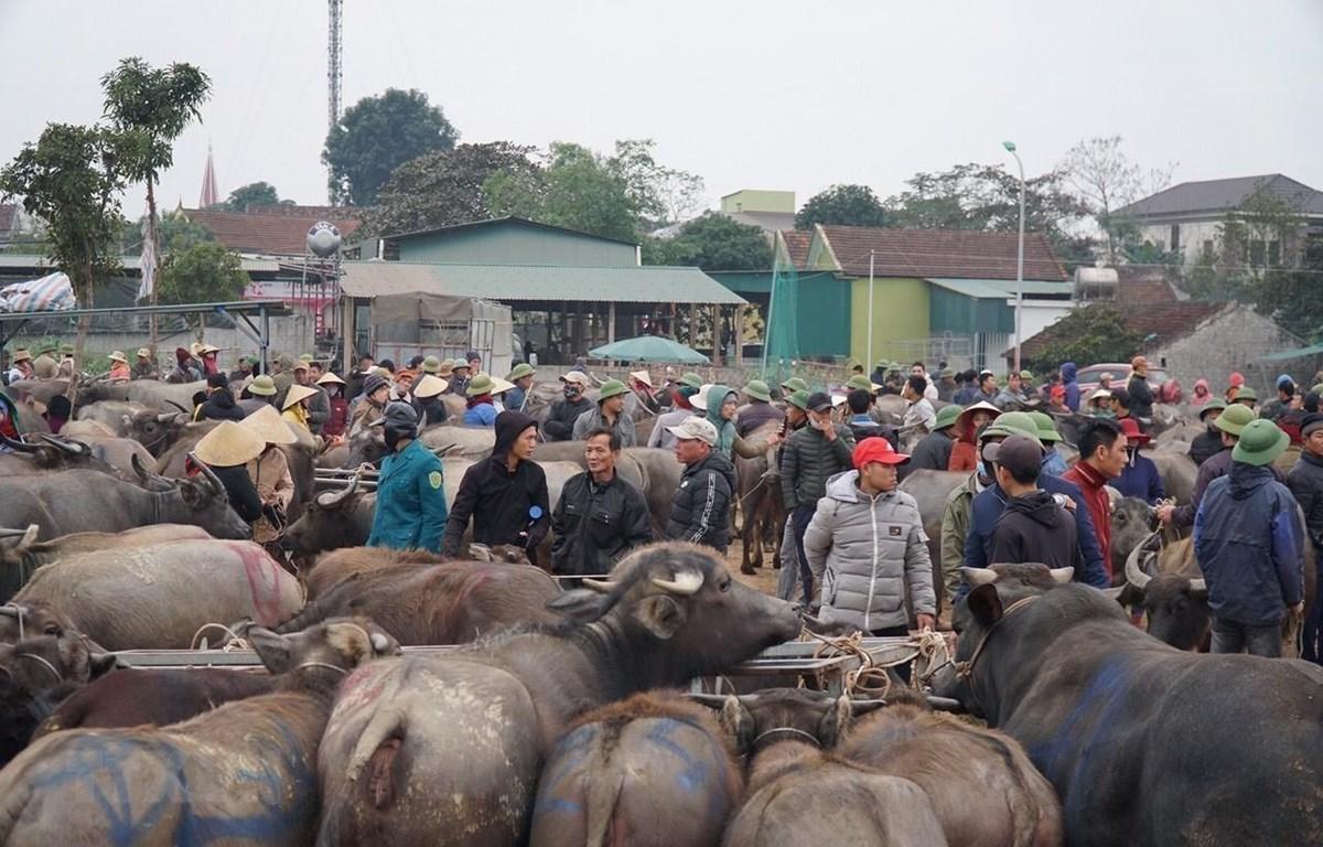 Những con trâu, bò to đẹp được người dân đưa đến chợ Ú để giao dịch. (Ảnh: Bích Huệ/TTXVN)