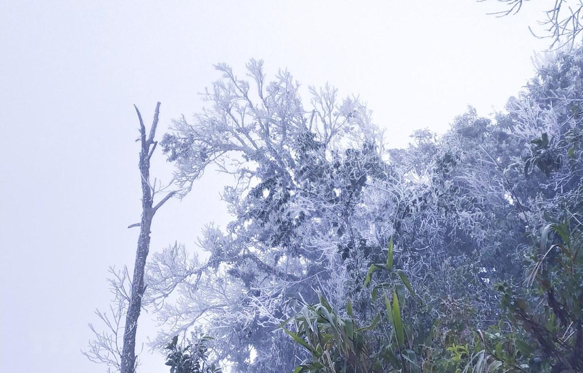 Cây rừng trên núi Khoan La San, Điện Biên bị băng tuyết phủ kín. (Ảnh: TTXVN phát)