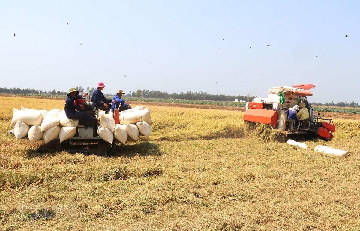 Chuẩn bị xuất khẩu khoảng 100.000 tấn gạo vào EU theo EVFTA. (Ảnh: TTXVN)