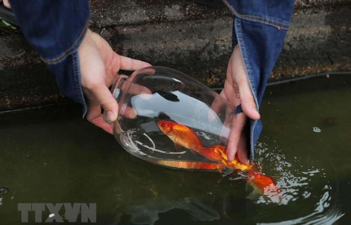 Người Việt thả cá chép để tiễn đưa ông Táo về trời, cầu mong năm mới bình an, thuận lợi. (Ảnh: Thành Đạt/TTXVN)
