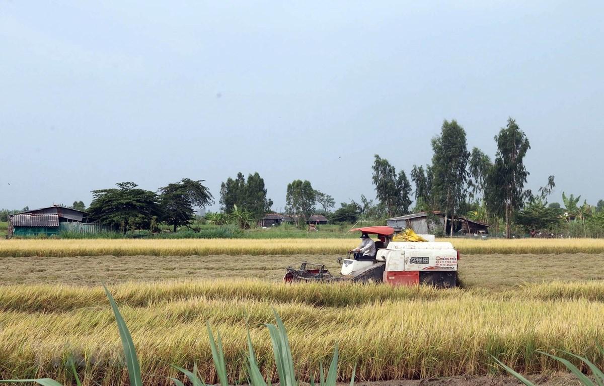 Nông dân xã Yên Luông, huyện Gò Công Tây, Tiền Giang thu hoạch lúa Đông Xuân. (Ảnh: Minh Trí/TTXVN)