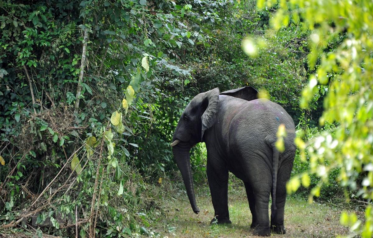Một con voi tại công viên quốc gia Azagny, miền nam Côte d'Ivoire, ngày 23/1/2014. (Ảnh: AFP/TTXVN)