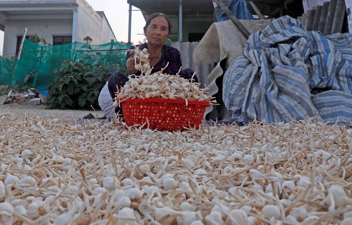 Giá tỏi hiện tại chỉ dao động ở mức từ 15.000-20.000 đồng/kg. (Ảnh: Trần Việt/TTXVN)