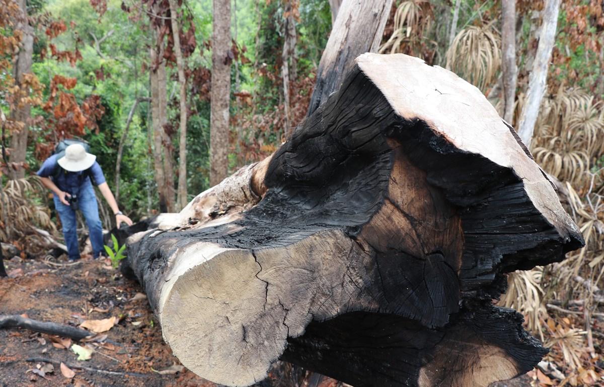 Một cây rừng có đường kính 60cm bị đốn hạ ven suối Dĩ, thôn Tân Thành, xã Sơn Hội (Sơn Hòa, Phú Yên). (Ảnh: Phạm Cường/TTXVN)