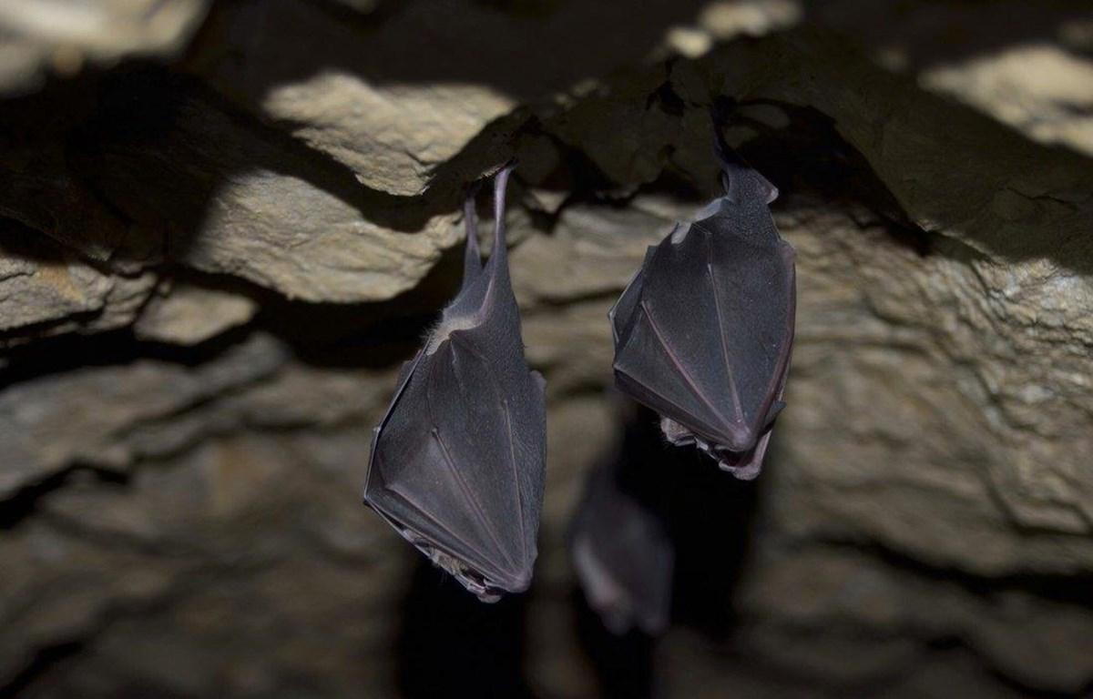 """Dơi móng ngựa trú ngụ trong các hang động đá vôi ở Bắc Lào được phát hiện mang theo các virus mà các nhà nghiên cứu nói là """"tổ tiên gần nhất của SARS-CoV-2 được biết đến cho đến nay"""". (Ảnh: TNS)"""