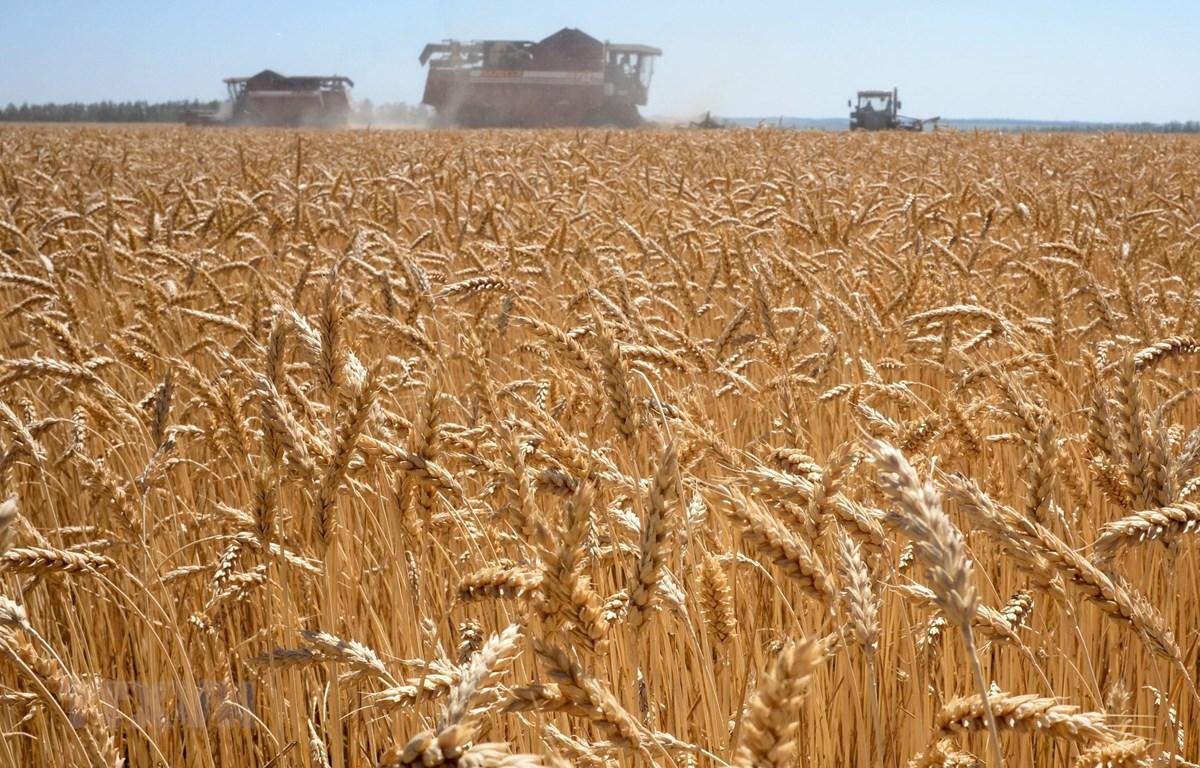 Một cánh đồng lúa mì tại Karpenkovo, Nga. (Ảnh: AFP/TTXVN)