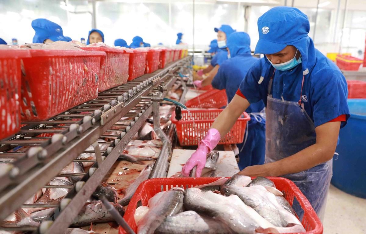 Chế biến cá tra cắt khúc đông lạnh tại nhà máy của Công ty CP Đầu tư phát triển đa quốc gia (Tập đoàn Sao Mai) tại khu công nghiệp Vàm Cống, huyện huyện Lấp Vò, tỉnh Đồng Tháp. (Ảnh: Vũ Sinh/TTXVN)