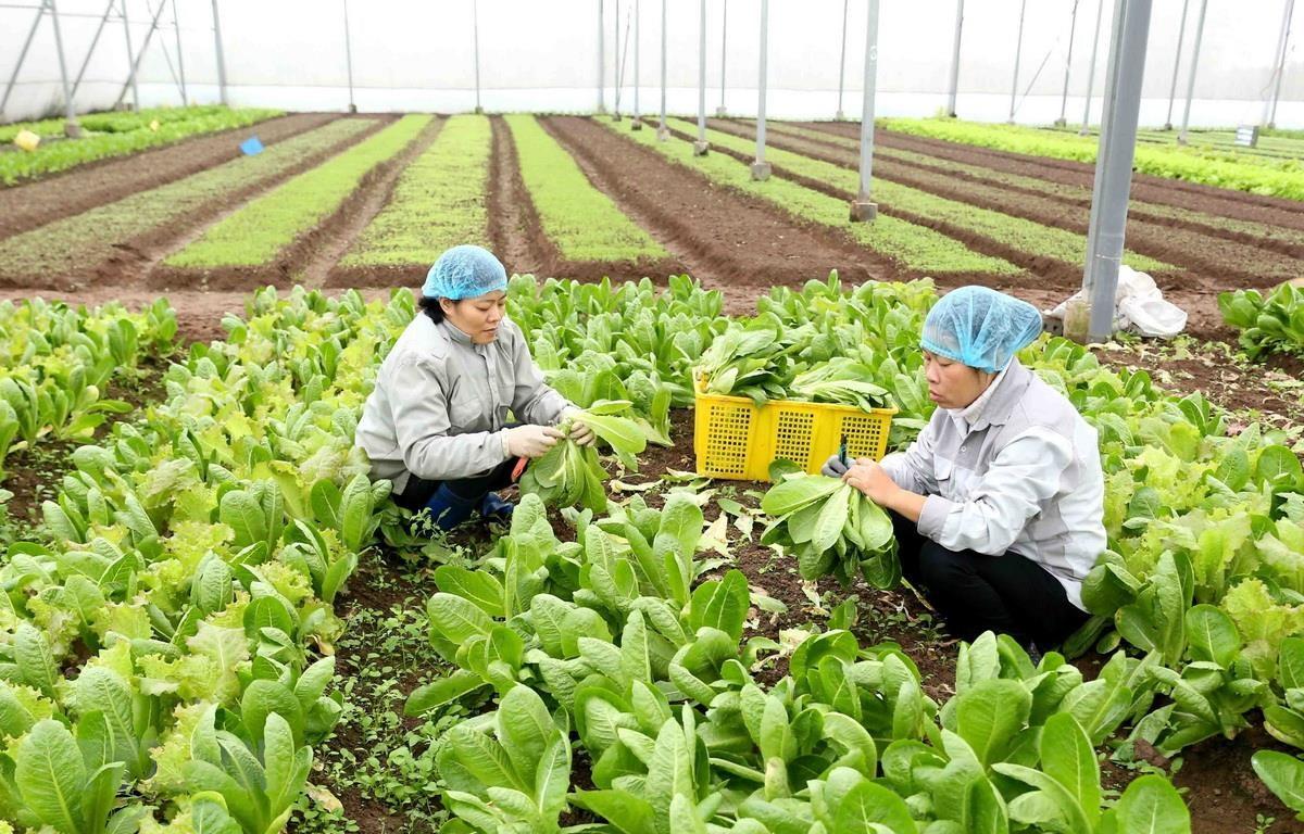Cơ sở sản xuất rau an toàn Thanh Hà, xã Ninh Sở, huyện Thường Tín. (Ảnh: Vũ Sinh/TTXVN)