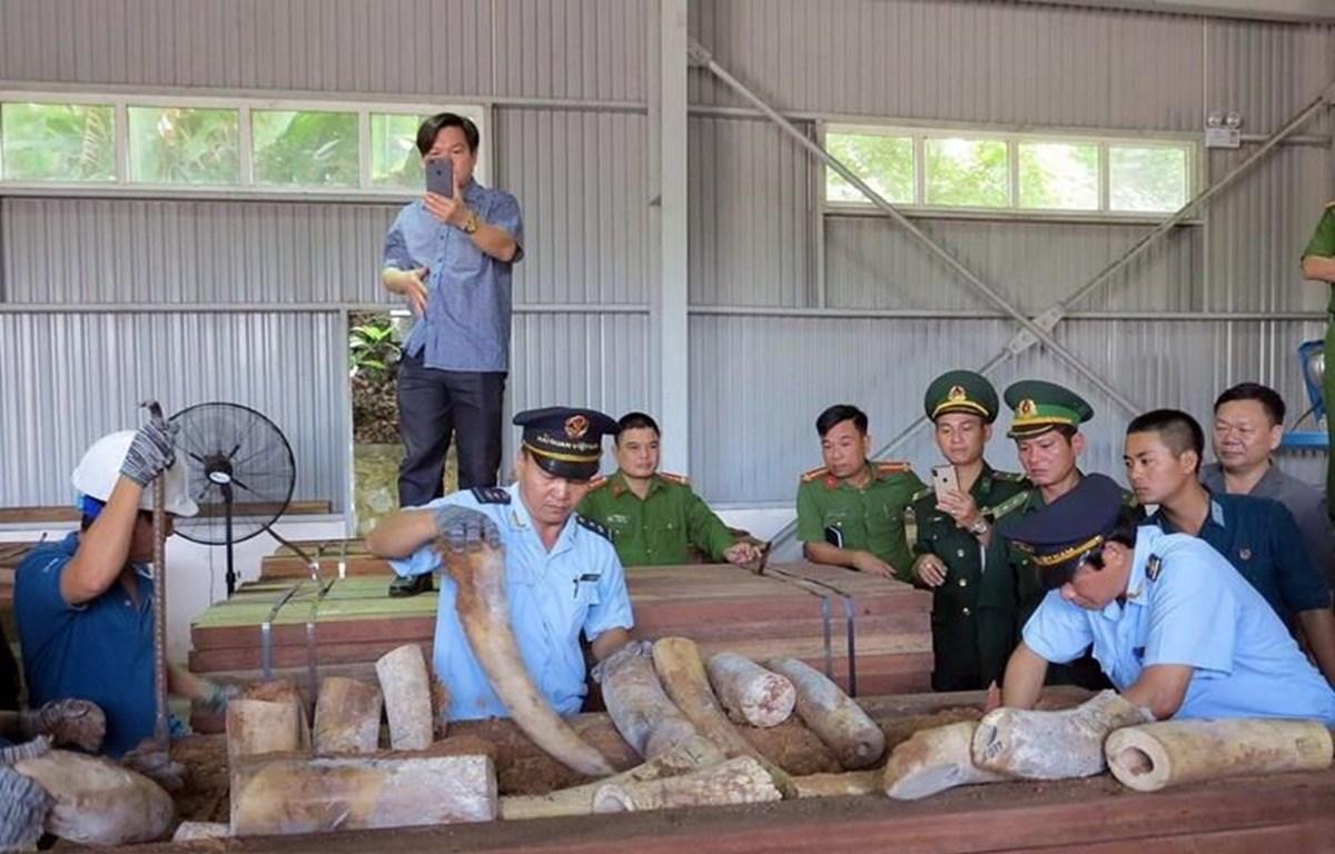 Lực lượng chức năng đang kiểm tra lô hàng, thu giữ nhiều ngà voi được cất giấu trong các hộp gỗ xẻ. (Ảnh: TTXVN)
