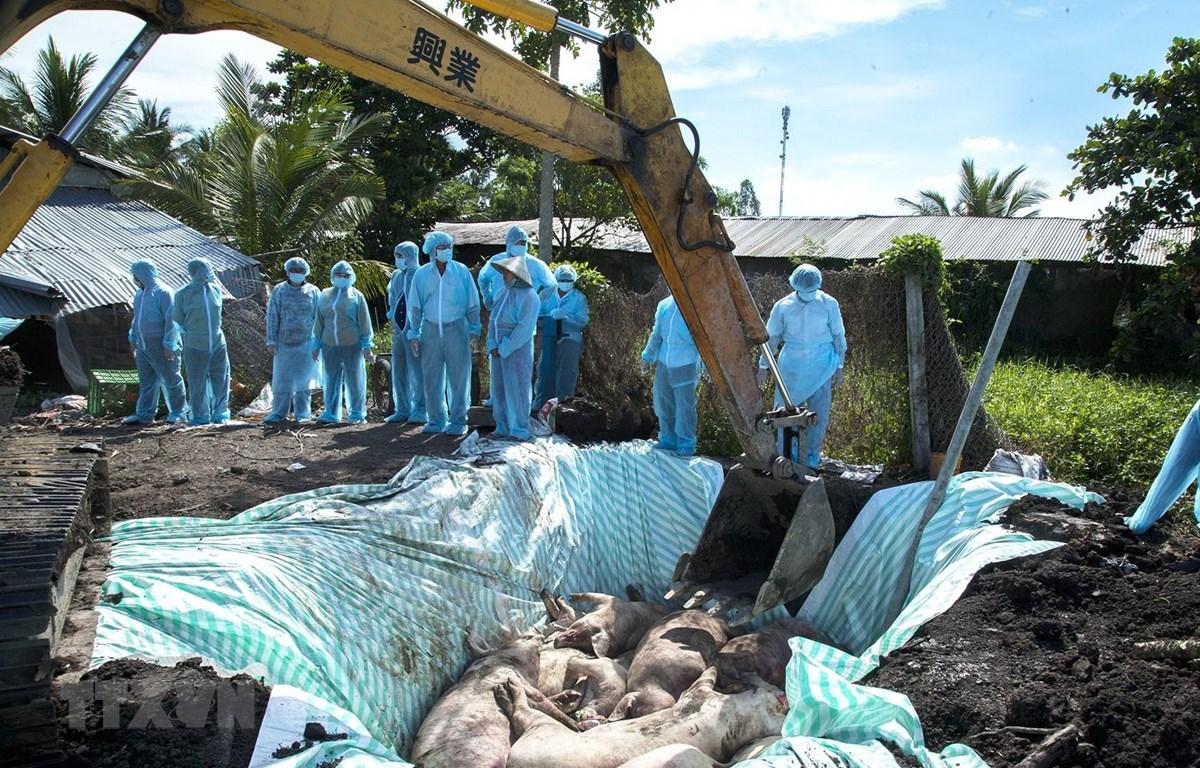 Tiêu hủy ổ dịch tả lợn châu Phi của gia đình ông Nguyễn Duy Chuyên, xã Tân Hiệp A, huyện Tân Hiệp. (Ảnh: Hồng Đạt/TTXVN)