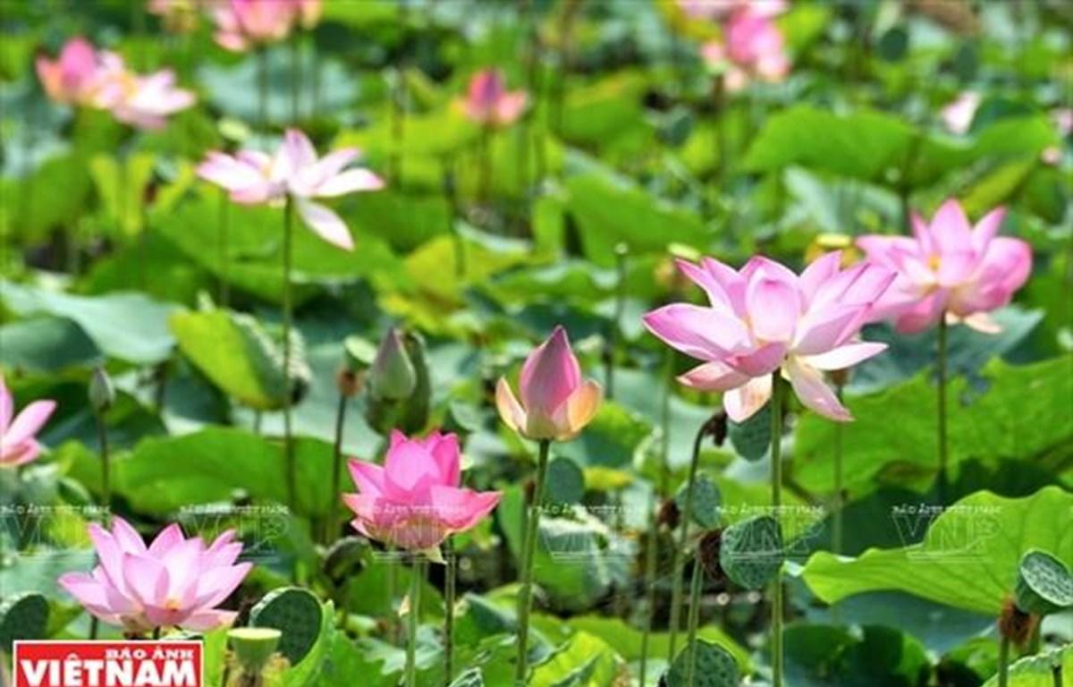 Những bông sen hồng tại Đồng Sen Gò Tháp bung nở khoe vẻ đẹp thanh khiết trong nắng sớm. (Nguồn:Báo ảnh Việt Nam)
