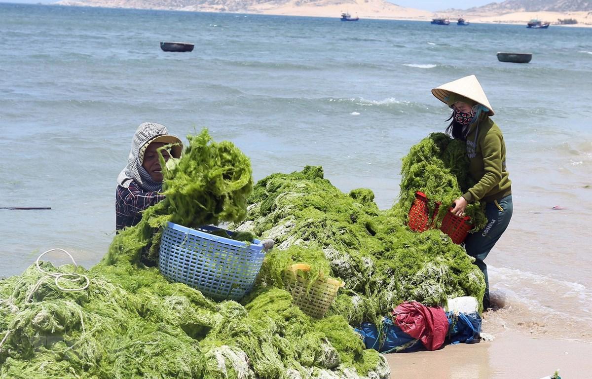 Vùng ven biển huyện Thuận Nam, Ninh Thuận trở thành nơi phát triển mạnh nghề nuôi rong sụn, mang lại thu nhập cao cho người dân. (Ảnh: Công Thử/TTXVN)