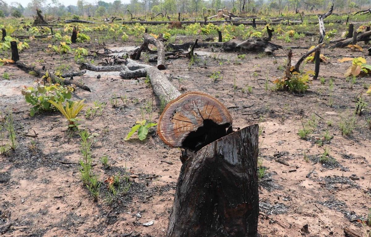 Hiện trường vụ phá rừng tại xã biên giới Ia Mơ. (Ảnh: Dư Toán/TTXVN)