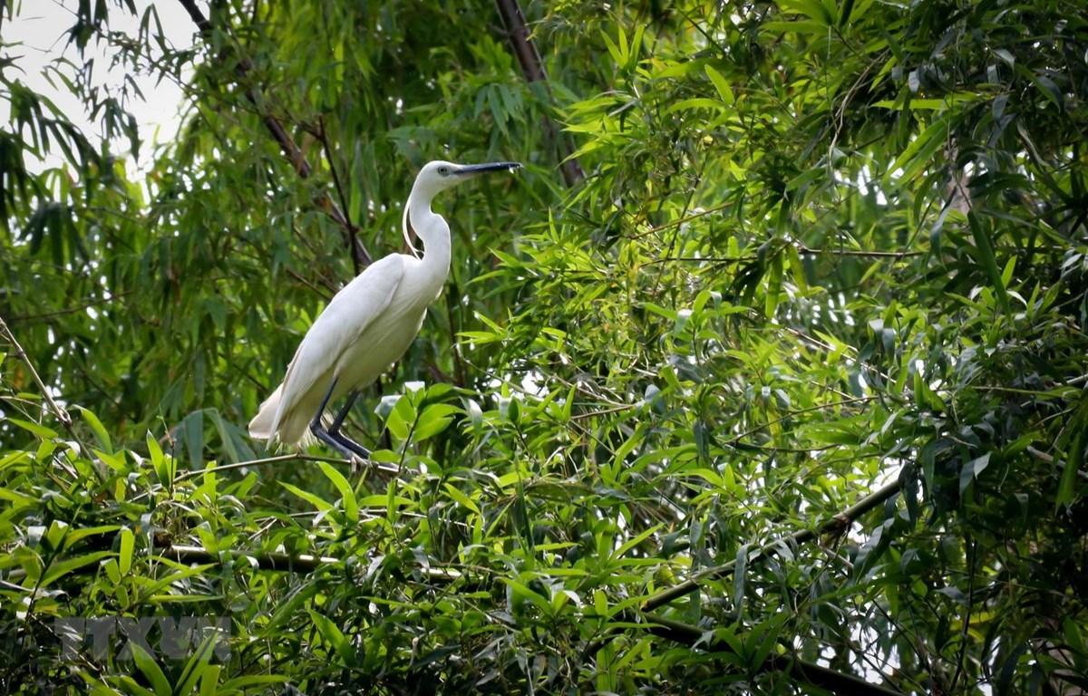 Nhiều loài chim quý hiếm được nuôi dưỡng, bảo tồn tại khu bảo tồn sinh thái Đồng Tháp Mười. (Ảnh: Nam Thái/TTXVN)