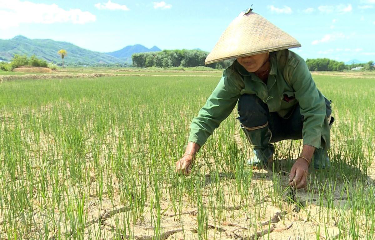 Ruộng lúa khô nẻ ở huyện A Lưới, Thừa Thiên-Huế. (Ảnh: Hồ Cầu/TTXVN)