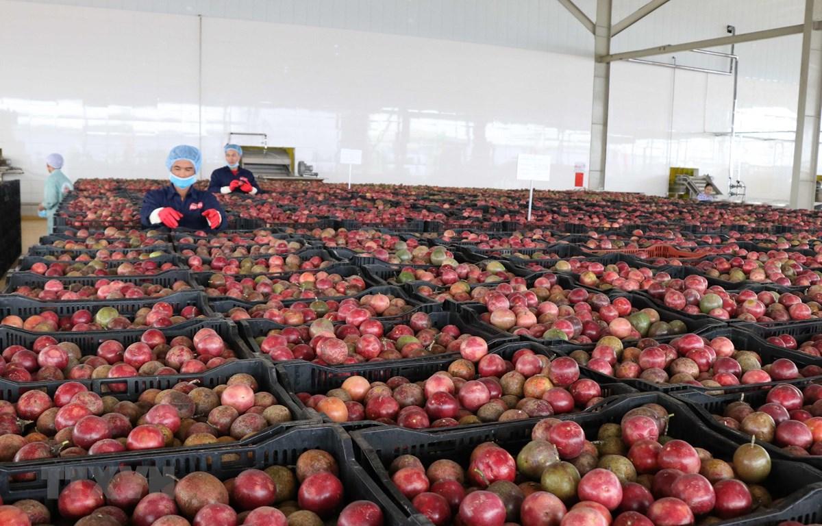 Phân loại chanh dây tại Trung tâm chế biến rau quả Doveco Gia Lai. (Ảnh: Hoài Nam/TTXVN)